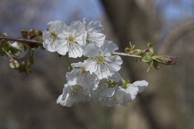 Wild Cherry in our woods