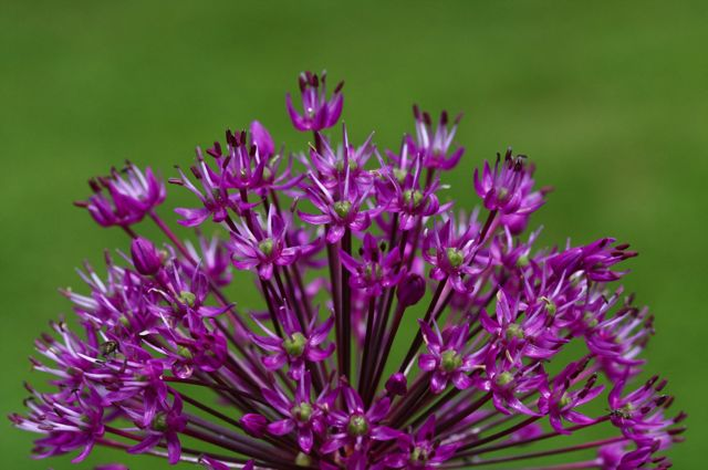 Allium hollandicum 'Purple Sensation' side-view