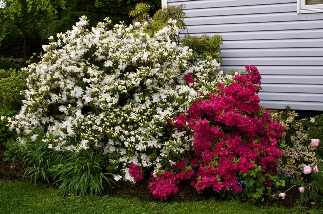 Azaleas weighed down by rain