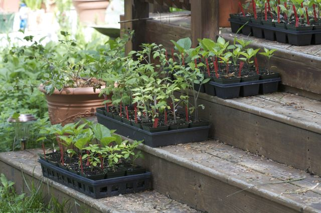 Basement seedlings are all ready to go into the garden