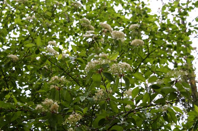 Black Haw (Viburnum prunifolium) in flower