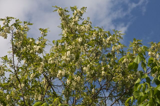 The Black Locust flowers stand out against the sky