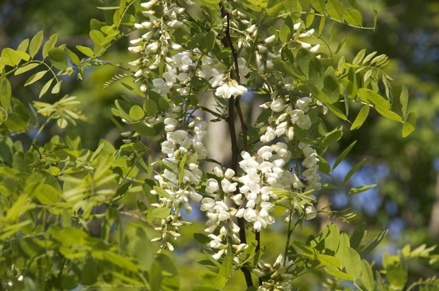 Black Locust (Robinia pseudoacacia)
