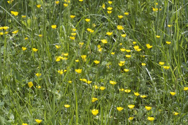 Buttercups bloom abundantly in the pasture