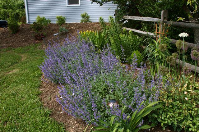 Catmint garden