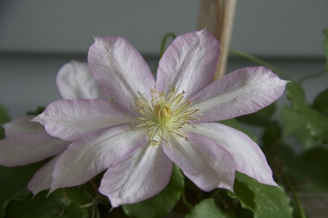 Clematis by the front door