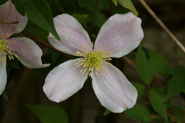Clematis montana flower detail