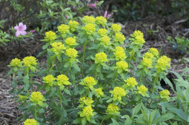 Euphorbia polychroma