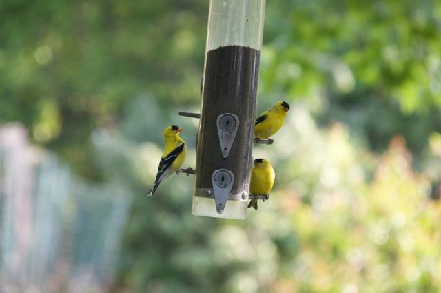 The Goldfinches are in full color