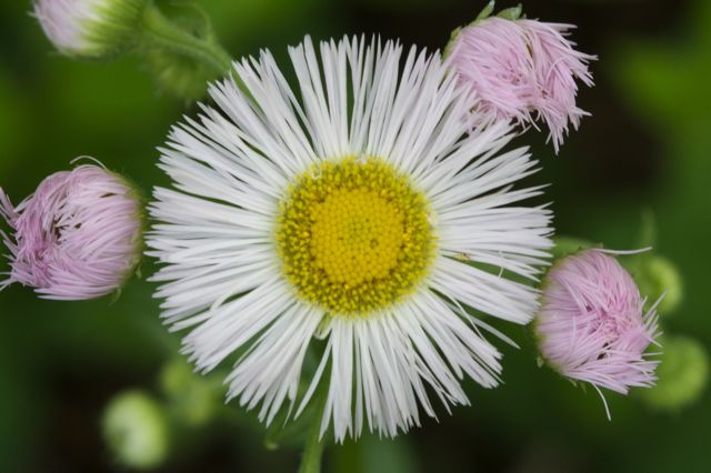 A Mother's Day daisy from the pasture