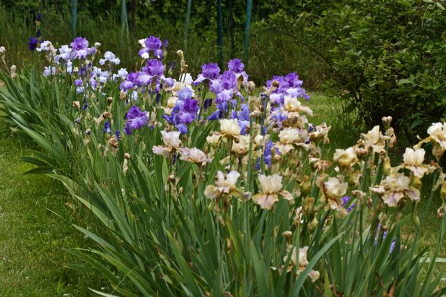 Iris row