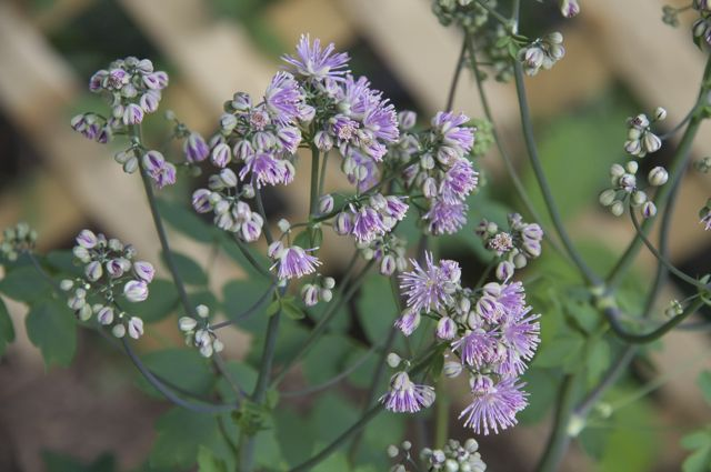 Meadow rue (Thalictrum aquilegiifolium) 'Thundercloud'