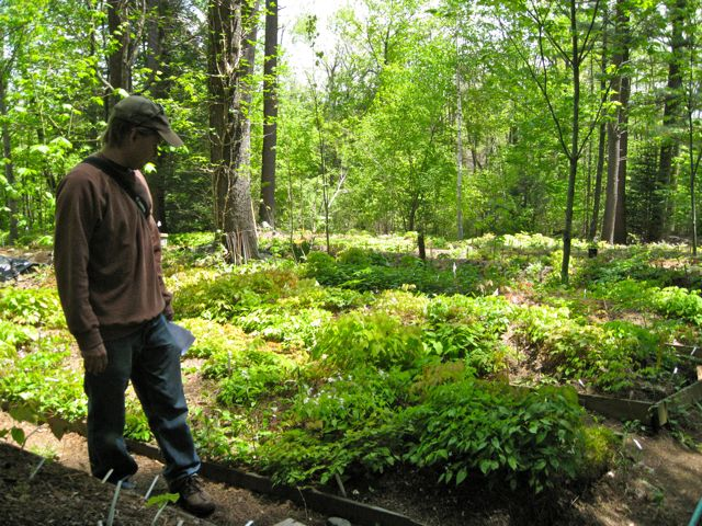 Son Jonathan overlooking nursery beds at Garden Vision Epimediums
