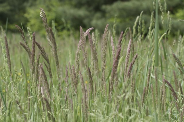 Waving grasses in the pasture