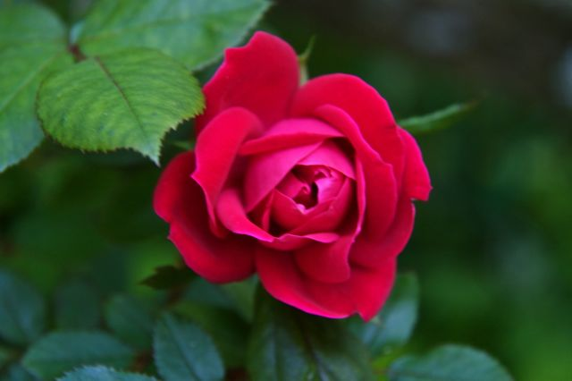 First Rose — Rosa 'Knockout Red'