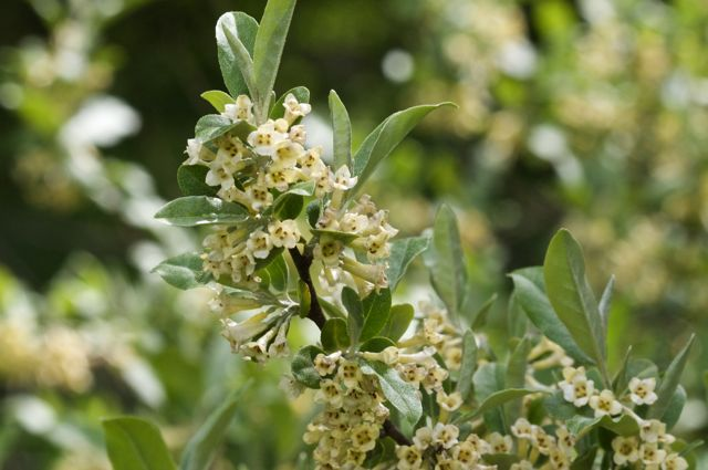 Russian Olive (Elaeagnus angustifolia) branch
