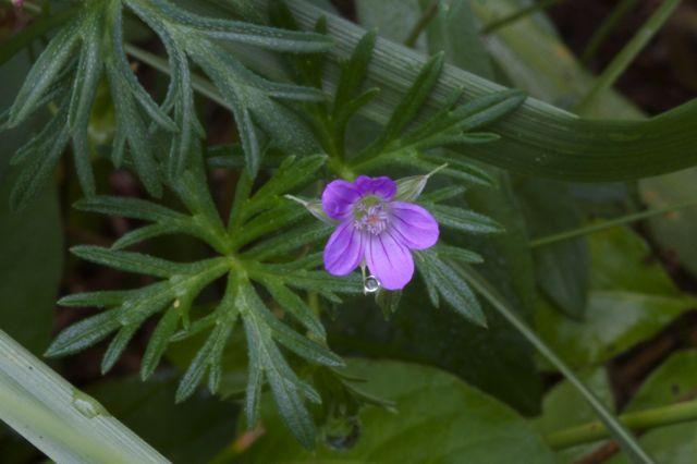Small Geranium