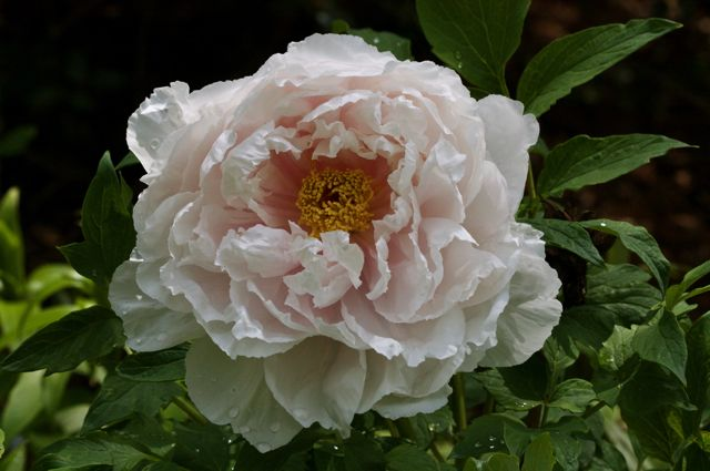 Tree Peony (Paeonia suffruticosa) of unknown vintage