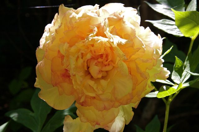 Yellow-orange Tree Peony