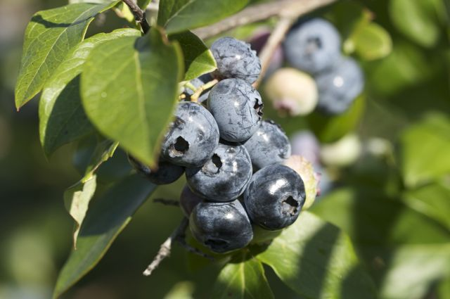 A fine crop of blueberries