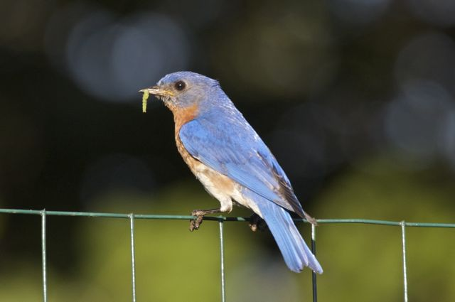Male Bluebird (Sialia sialis) and breakfast