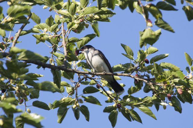 Eastern Kingbird (Tyrannus tyrannus) eating mulberry