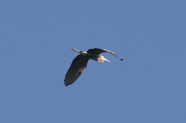 Great Blue Heron (Ardea herodias) flying overhead