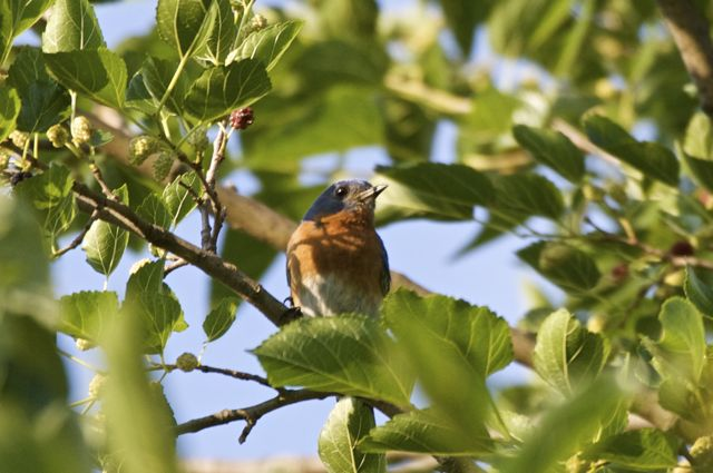 Bluebird in the Mulberry Tree
