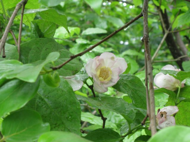 Chinese Allspice (Sinocalycanthus chinensis)