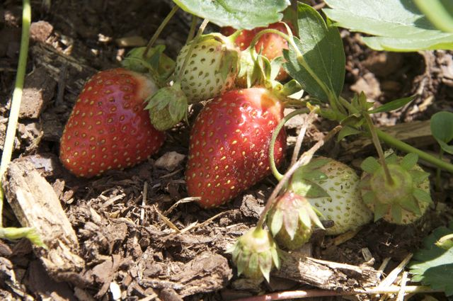 Earliglow Strawberries