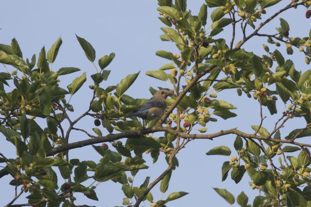Female Bluebird (Sialia sialis)