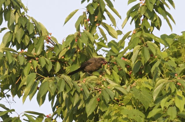 Juvenile Grackle (Quiscalus quiscula) sampling the wild cherries