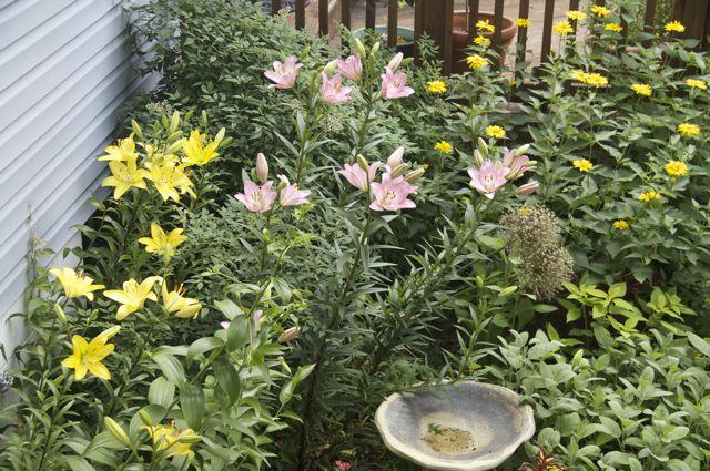 Lillies in the herb garden