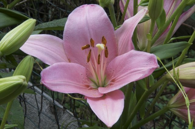 Longiflorum-Asiatic hybrid Lily 'Algarve'