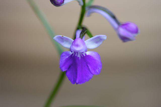 Ponerorchis graminifolia (Asiatica source)