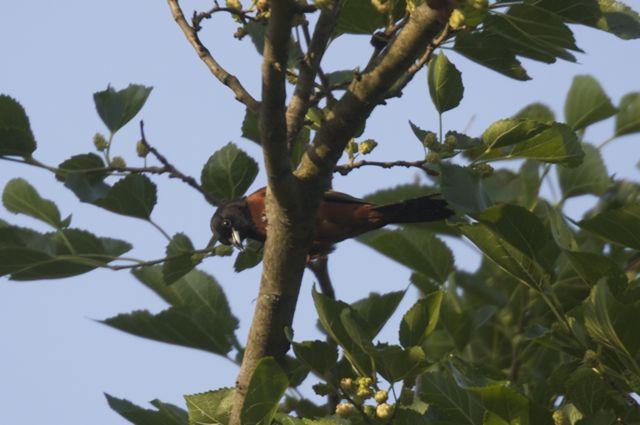 Orchard Oriole (Icterus spurius)