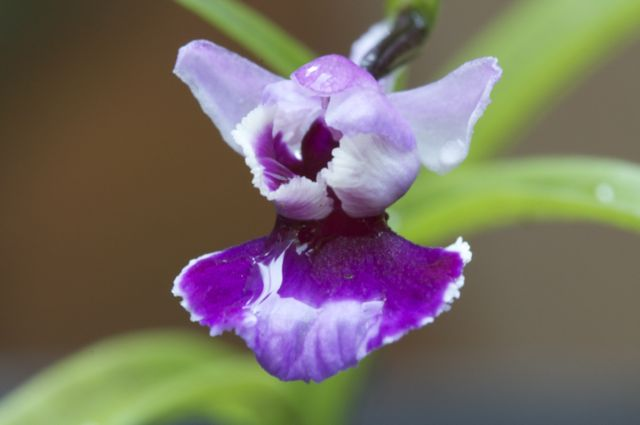 Ponerorchis grammifolia