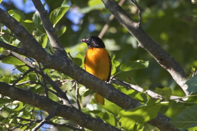 Baltimore Oriole (Icterus galbula) enjoying mulberry breakfast