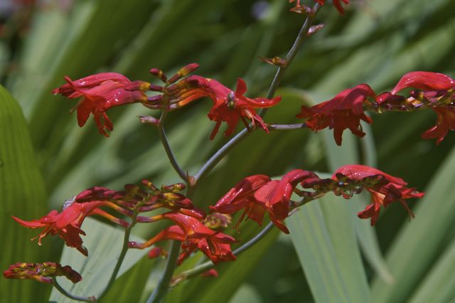 Crocosmia 'Lucifer' in bloom