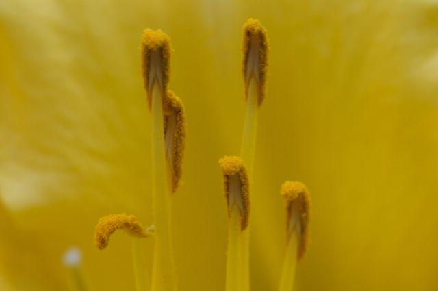 Detail of yellow daylilly