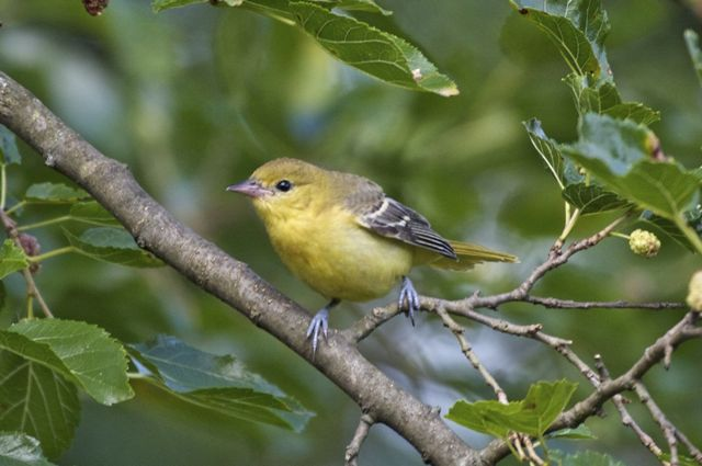 Orchard Oriole (Icterus spurius) female