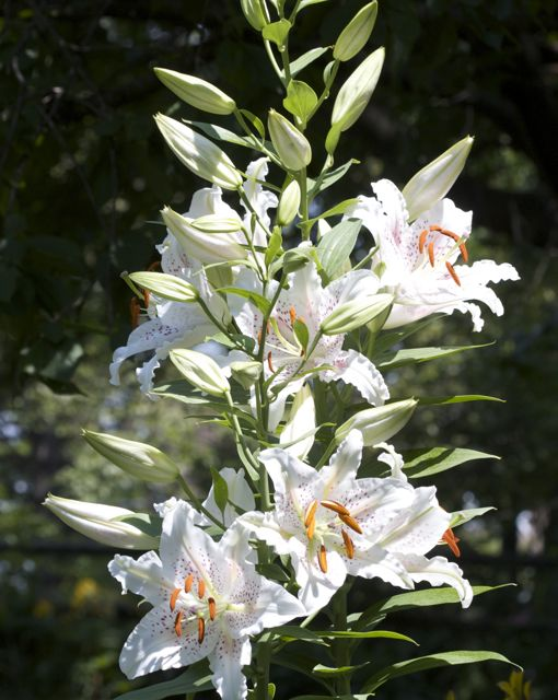Tall Oriental Lillies