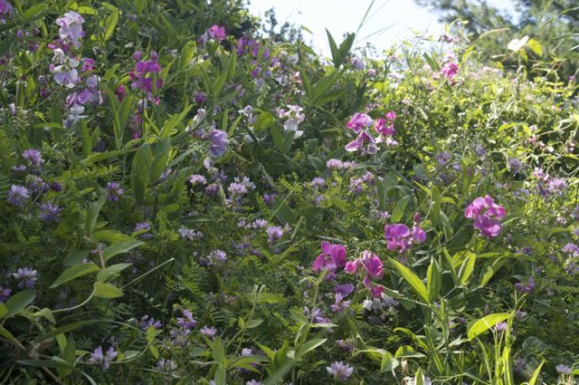 Perennial Sweet Pea on the bank
