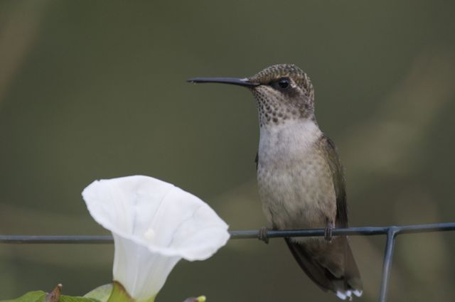 Ruby-throated Hummingbird (Archilochus colubris) female