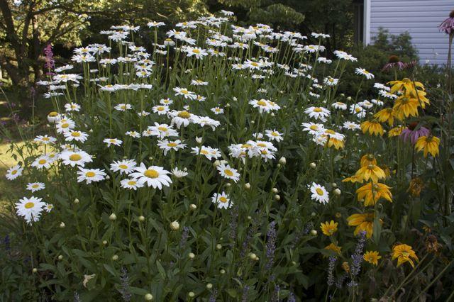 Shasta Daisies 'Becky' (Leucanthemum x superbum)