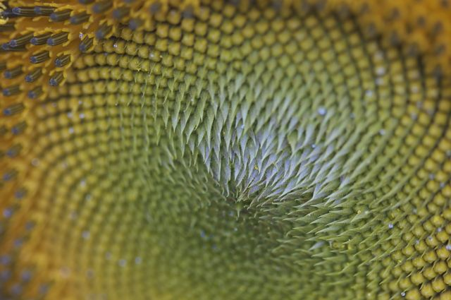 Sunflower Closeup #2