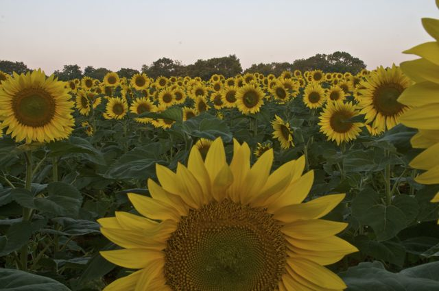 Sunflowers before dawn