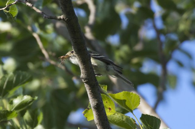 Yellow-bellied Flycatcher? (Empidonax flaviventris)