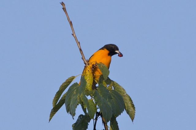 Baltimore Oriole sequence 1
