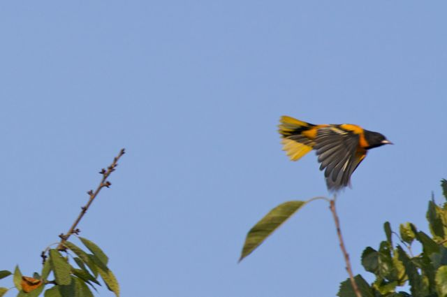 Baltimore Oriole sequence 3